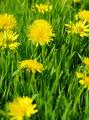 yellow dandelion - PhotoDune Item for Sale