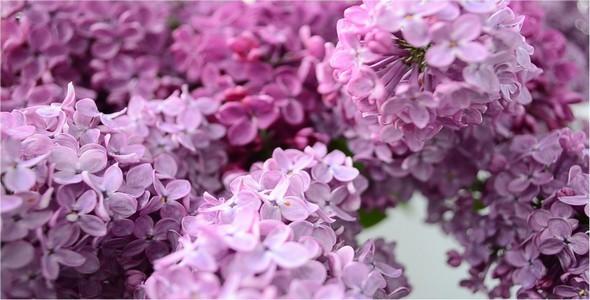 Lilac 8