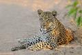 Leopard resting - PhotoDune Item for Sale