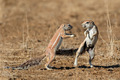 Playing ground squirrels - PhotoDune Item for Sale