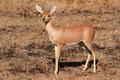 Steenbok antelope - PhotoDune Item for Sale