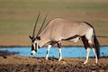 Gemsbok antelope - PhotoDune Item for Sale