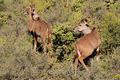 Kudu antelopes - PhotoDune Item for Sale
