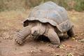 Aldabra giant tortoise - PhotoDune Item for Sale