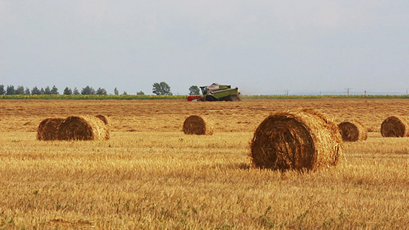 Harvested Bales Of Straw And Combine-Harvester