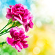carnation flower - PhotoDune Item for Sale