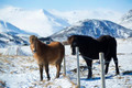 Two Icelandic horses on a meadow in winter - PhotoDune Item for Sale