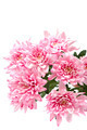 Bouquet of pink chrysanthemums on white background. - PhotoDune Item for Sale