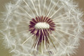 close up of Dandelion with abstract color - PhotoDune Item for Sale