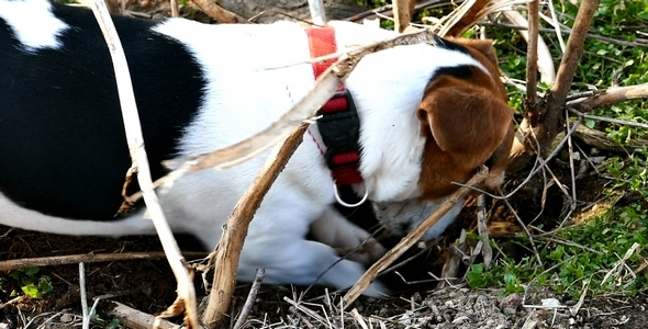 Jack Russell Terrier Digging a Hole in the Land 3