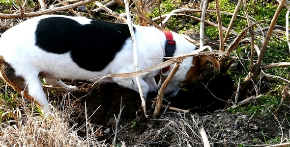 Jack Russell Terrier Digging a Hole in the Land 4