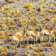 Guanaco - PhotoDune Item for Sale