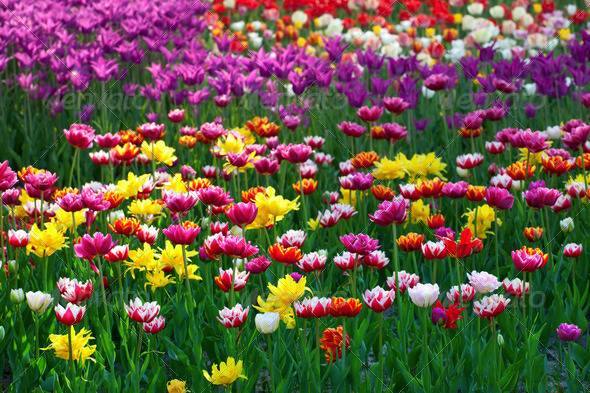 Multicolor tulips - Stock Photo - Images