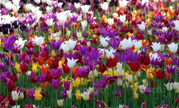 Multicolor tulips background - Stock Photo - Images