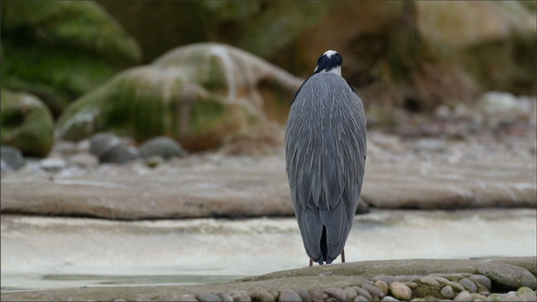 A Gray Heron Standing on the Rock