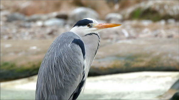 A Gray Heron Bird with a Long Orange Beak