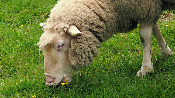 Sheep Grazing On Grass And Flowers