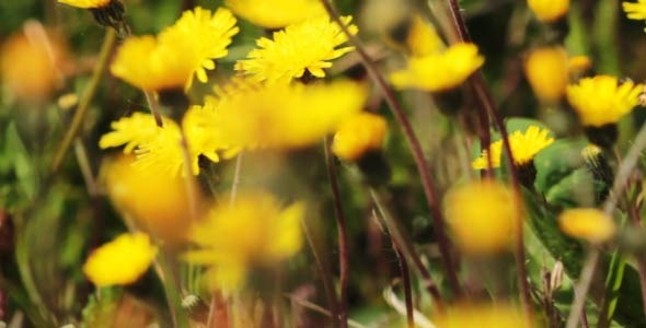 Spring Meadow With Yellow Flowers 1