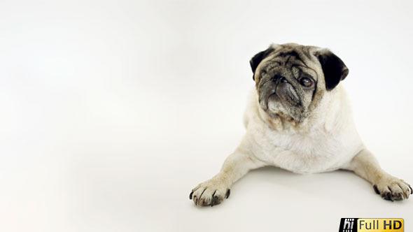 Pug Dog in White Studio