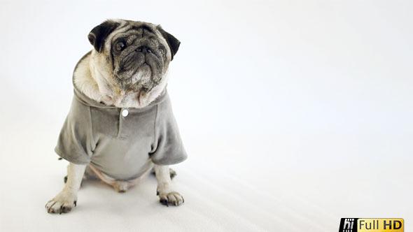 Pug Dog Wearing Grey Top in White Studio