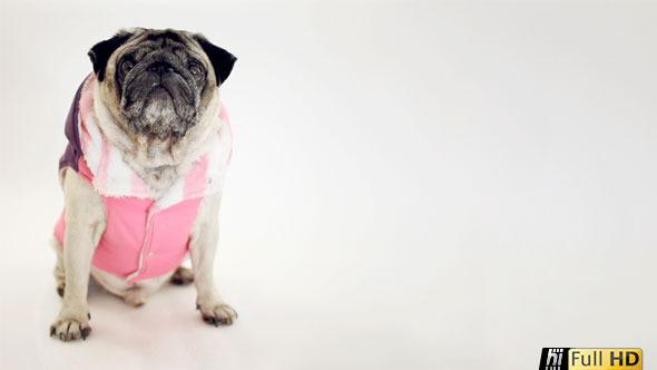 Pug Dog Looking into Distance Wearing Ski Costume