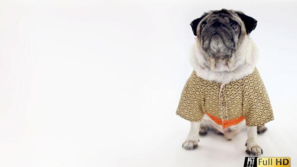 Pug Dog Wearing Gold Japanese Kimono Walks Out