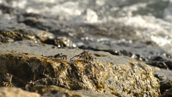 VideoHive Crabs on Stone Beach 11636096