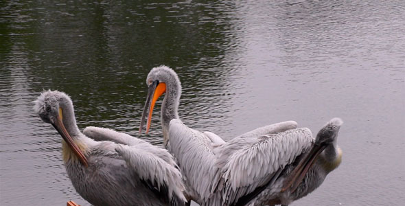 VideoHive Pelican 11639219