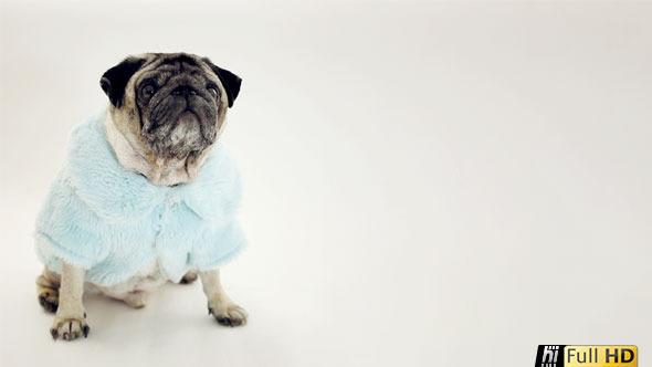 Pug Dog in Glamorous Baby Blue Fur Coat