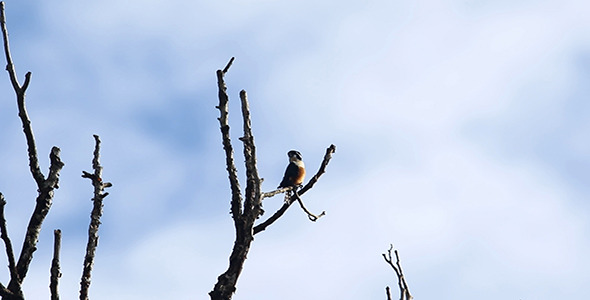 Black Thighed Falconet 02