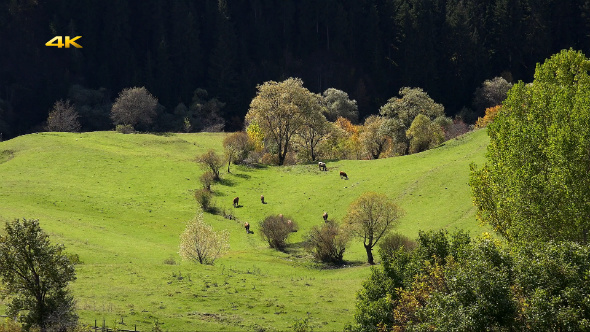 Herd of Cows on Pasture Meadow
