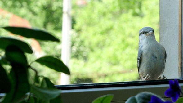 Nuthatch Sitting And Peeps Near The Window