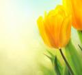Spring tulip flowers growing. Beautiful yellow tulips closeup - PhotoDune Item for Sale