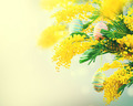 Easter holiday mimosa flowers decorated with colorful eggs - PhotoDune Item for Sale