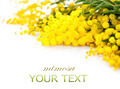 Mimosa spring flowers branch border isolated on white - PhotoDune Item for Sale
