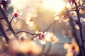 Beautiful nature scene with blooming tree and sun flare - PhotoDune Item for Sale