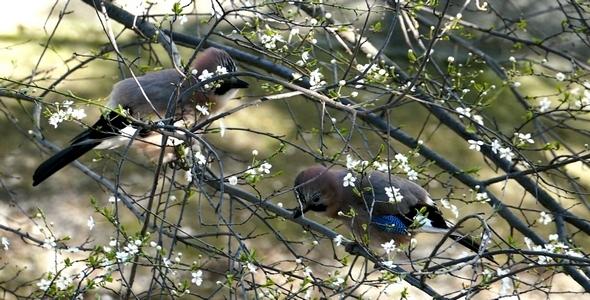 Three Jays Birds During the Breeding Season 8