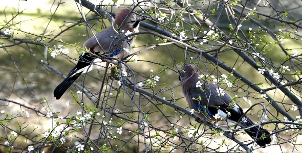 Two Jays Birds During the Breeding Season 7