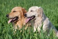 Two lovely dogs on a green field - PhotoDune Item for Sale