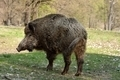 Wild boar - PhotoDune Item for Sale