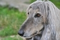 Afghan hound dog - PhotoDune Item for Sale