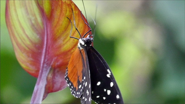 A Black Orange Butterfly Climbing on a Leaf