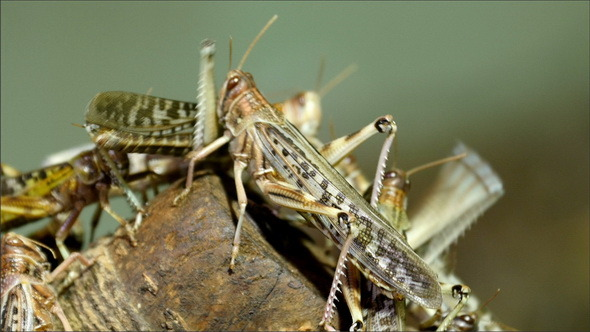 Lots of Grasshopper Flocking into a Wood
