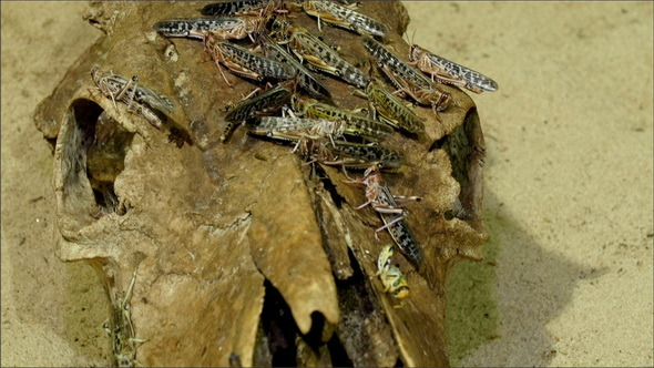 Grasshoppers Flock on the Rooten Wood or Skull
