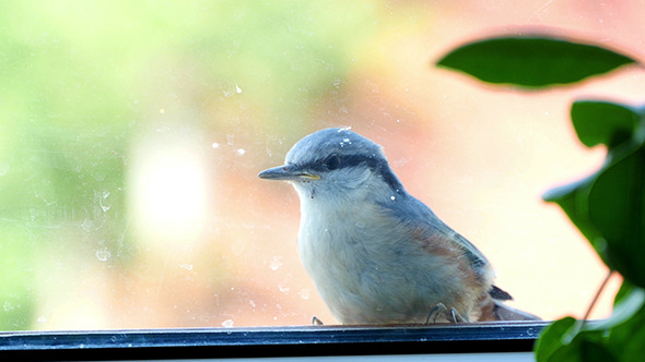 VideoHive Nuthatch Sitting And Peeps 11673253