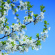 blossoming tree of plum on background of the blue sky - PhotoDune Item for Sale