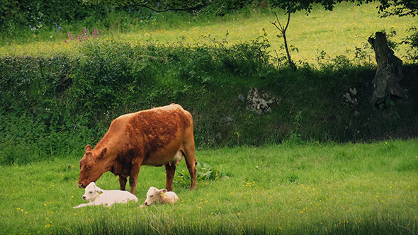 VideoHive Cow Walks Over And Sees To Her Babies 11676535