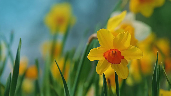 Daffodils In Gentle Breeze