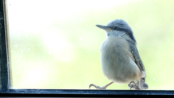 VideoHive Nuthatch Sitting And Peeps 11686079