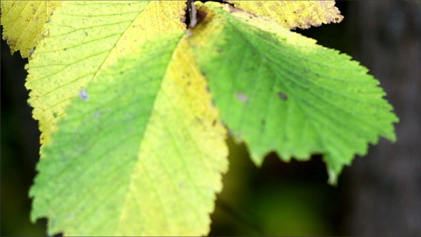 Elm Ulmus Close Up of Leaf